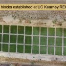 Experimental turfgrass blocks established at UC Kearney REC, Parlier, CA